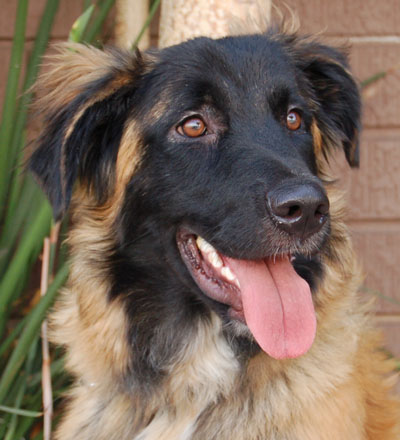 leonberger german shepherd mix westside german shepherd rescue of los angeles 1396