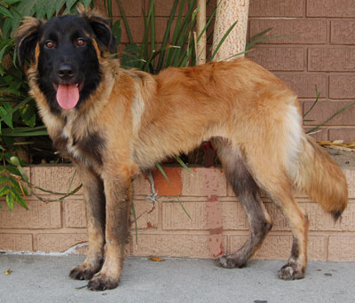 leonberger german shepherd mix westside german shepherd rescue of los angeles 4934