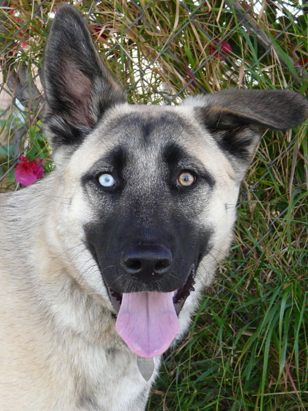 blue eye german shepherd westside german shepherd rescue of los angeles 565