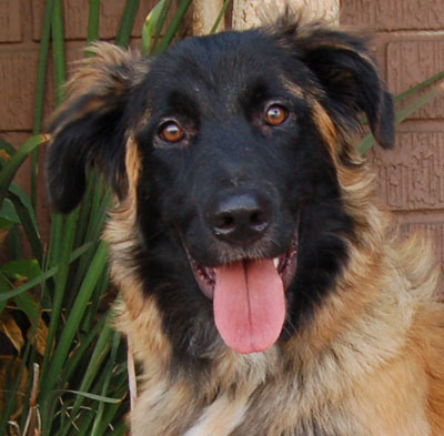 leonberger german shepherd mix westside german shepherd rescue of los angeles 8079