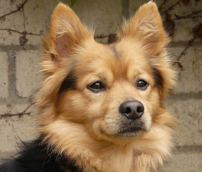 german shepherd and pomeranian mix westside german shepherd rescue of los angeles 7976